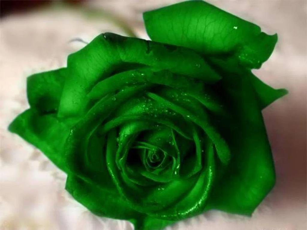 گل رز سبز نشانه جوانی دوباره روح و باروری است