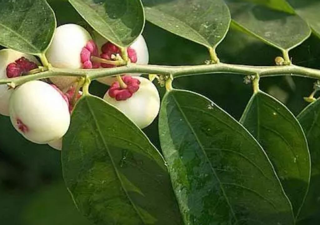 انگور فرنگی درمان برفک دهان