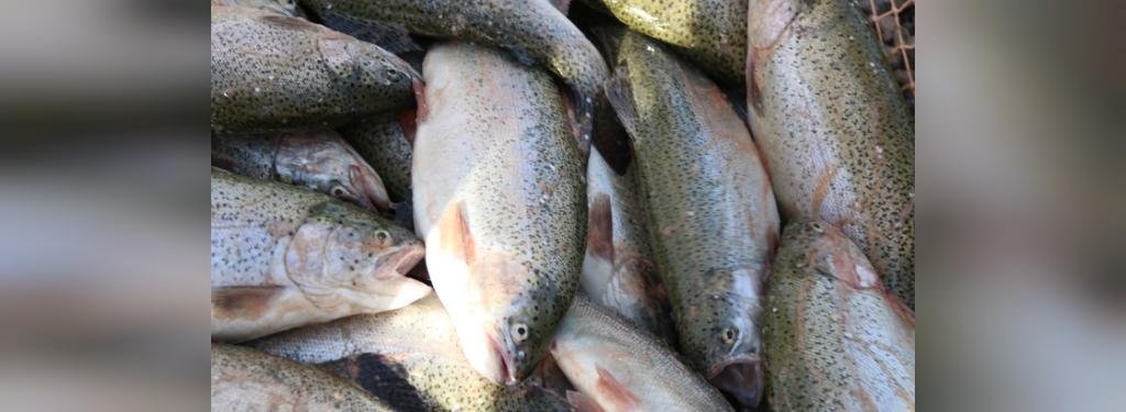 ماهی قزل آلا(سالمون)