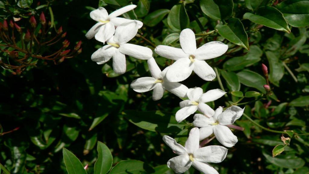 گل یاس؛ اطلاعات و راهنمایی کامل برای کاشت و نگهداری از درختچه گل یاس (یاسمن)