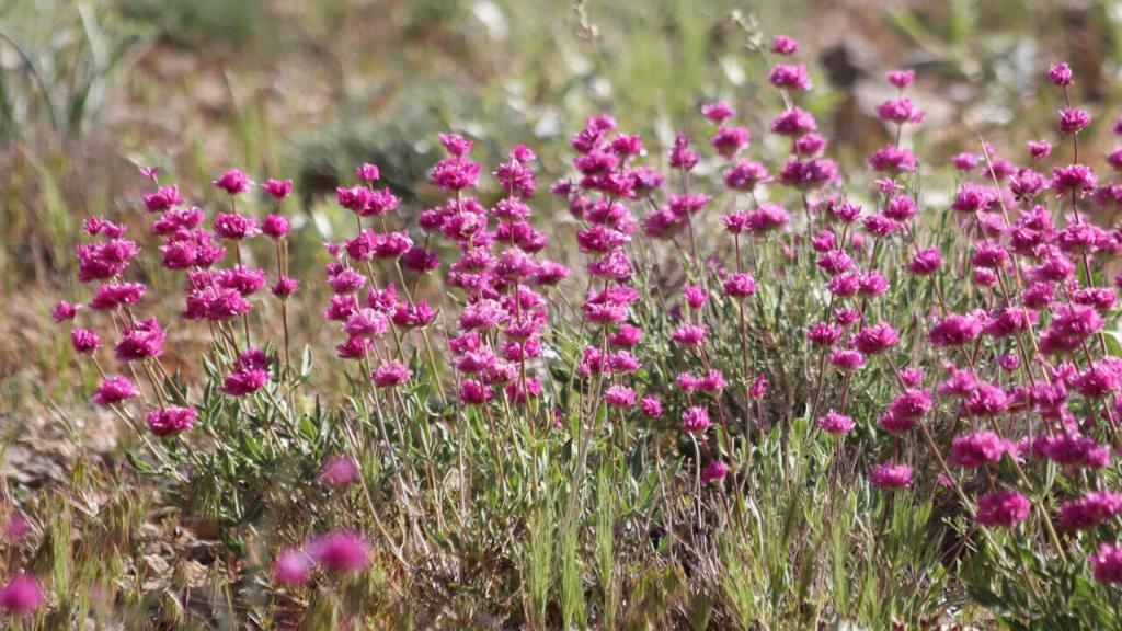 خواص دارویی و درمانی گل اروانه برای سلامتی، تقویت قلب و سرطان