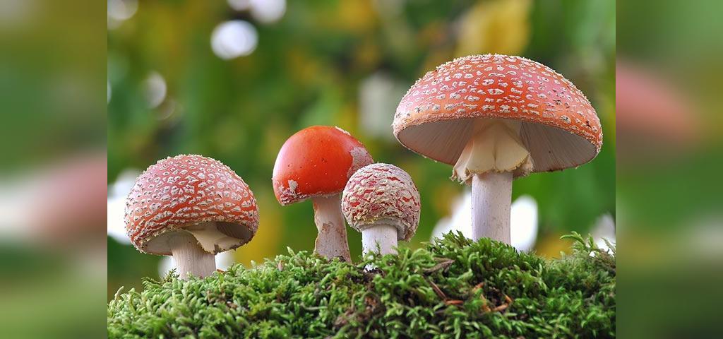 انواع قارچ هایی که در دوران بارداری باید از خوردن آنها اجتناب کرد