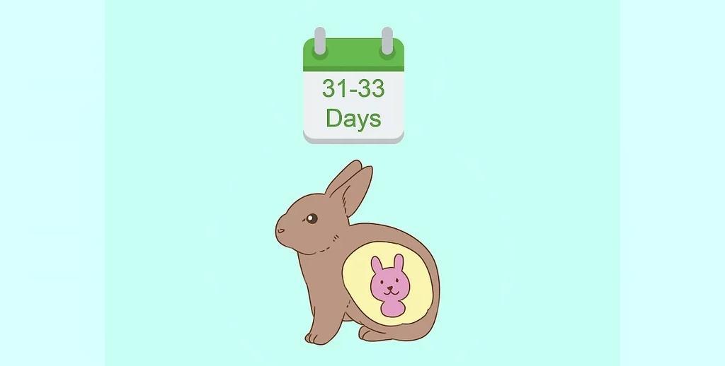 دوره بارداری خرگوش چقدر است