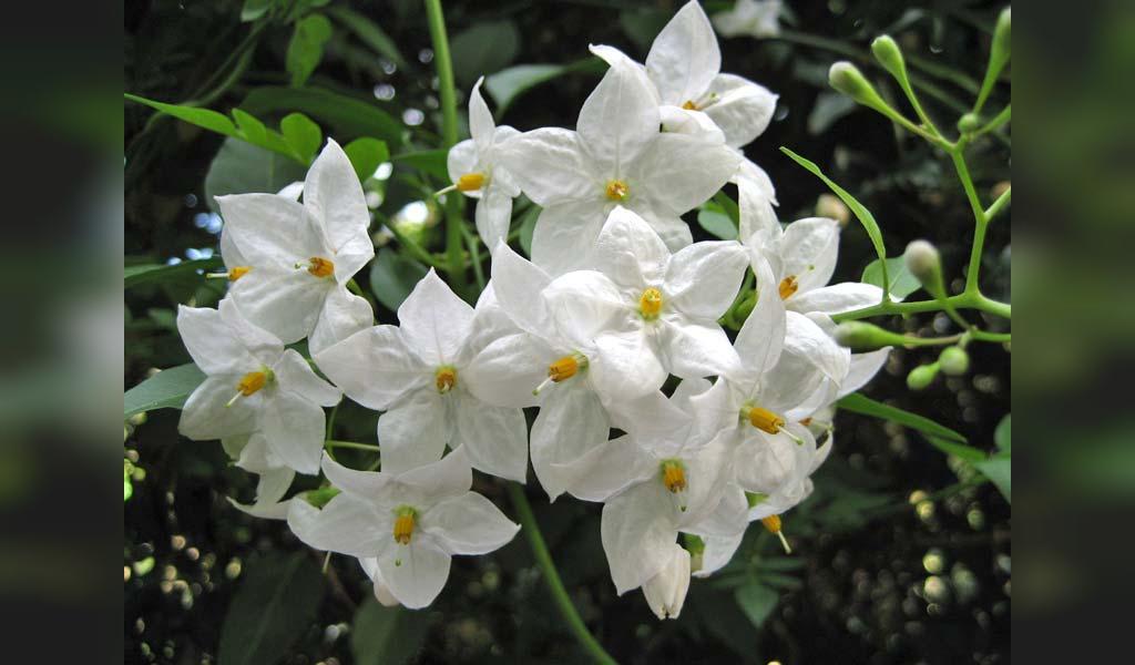 گل یاس، چای گیاهی برای رشد مو