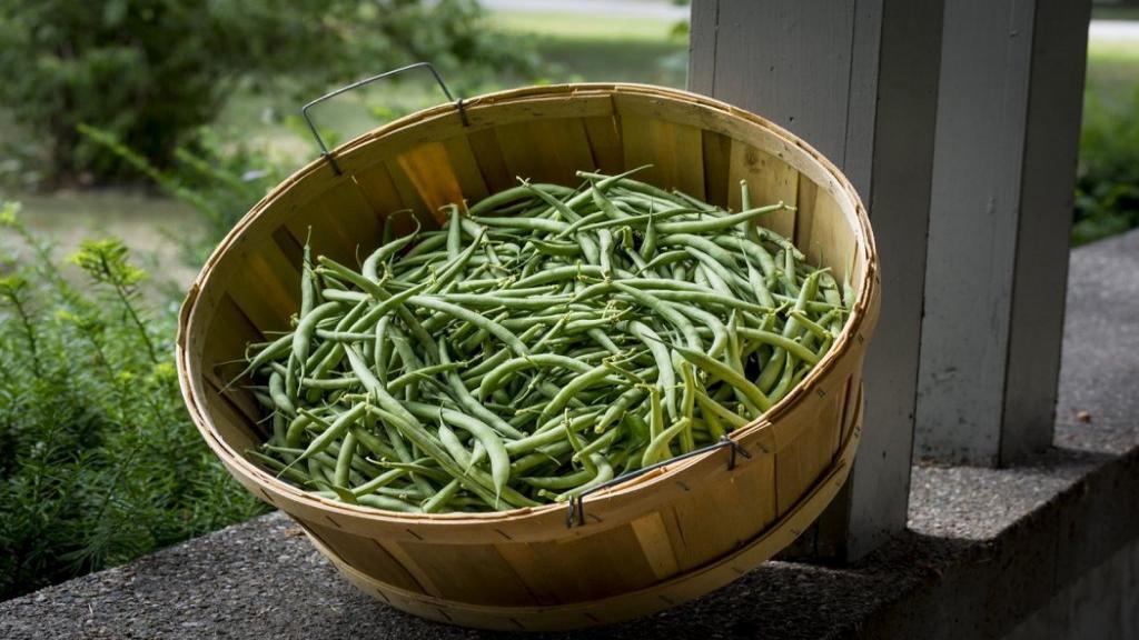 کاشت لوبیا سبز در گلدان؛ نکات نگهداری و بیماری های لوبیا سبز