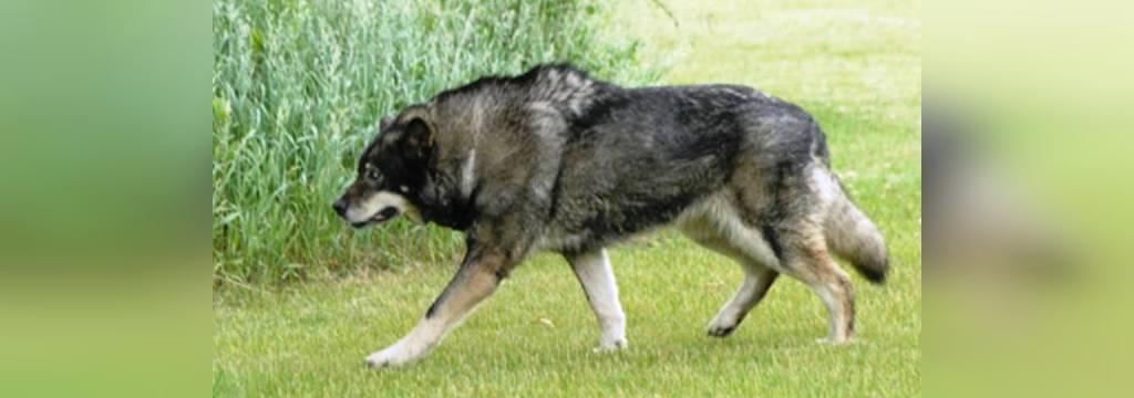 خطرناکترین سگ گرگی دنیا