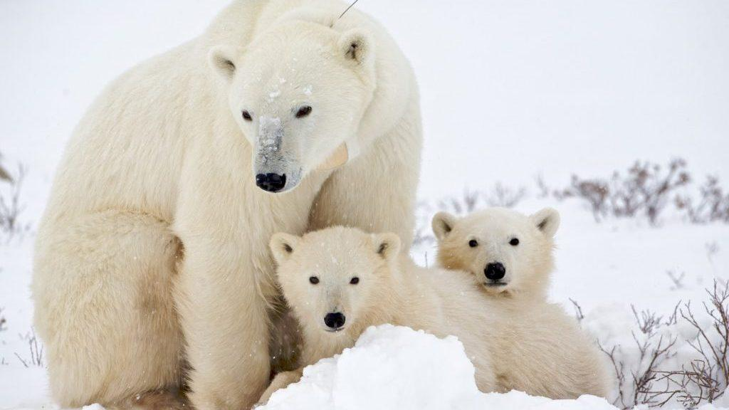 دانستنی های جالب در مورد خرس قطبی