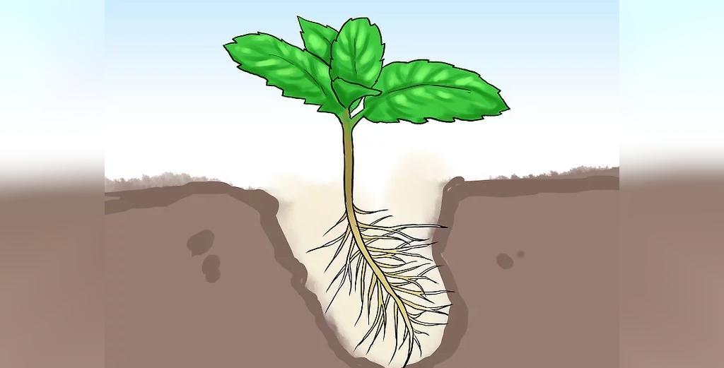 آموزش ساده و تصویری روش کاشت نعناع در گلدان