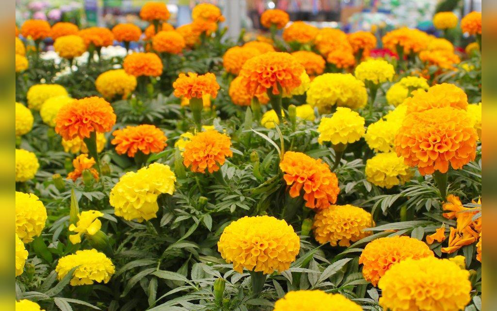 گل همیشه بهار برای پاکسازی رحم