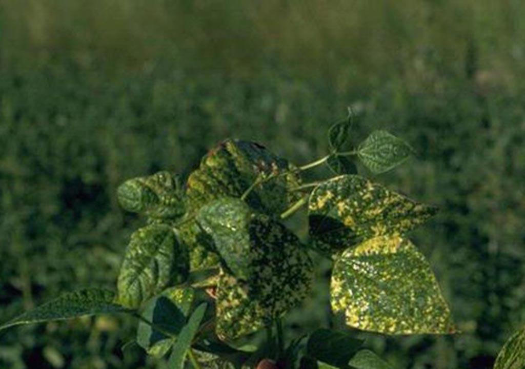 چگونه لوبیا سبز در گلدان بکاریم