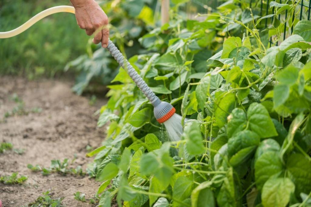 شرایط کاشت لوبیا سبز در باغچه