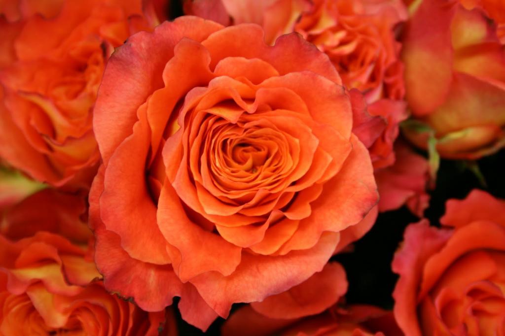 گل رز نارنجی بیان کننده چیست