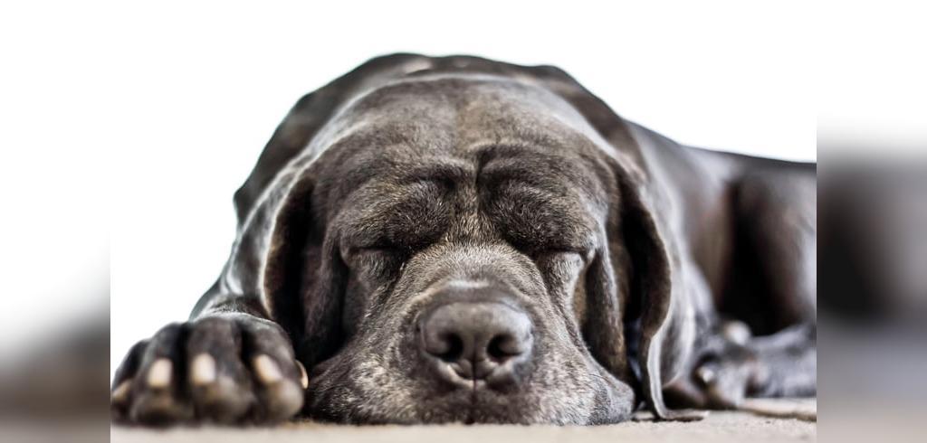 آشنایی با قدرتمندترین نژادهای سگ های دنیا