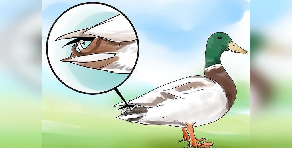 روش تشخیص اردک نر و ماده از روی پر