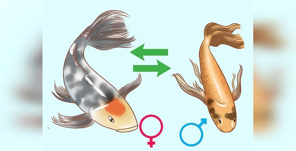 روش تعیین جنسیت ماهی کوی