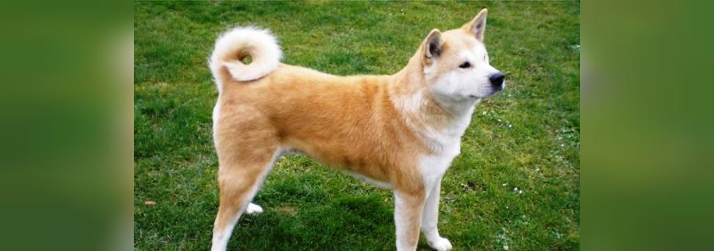 سگ  آکیتا اینو
