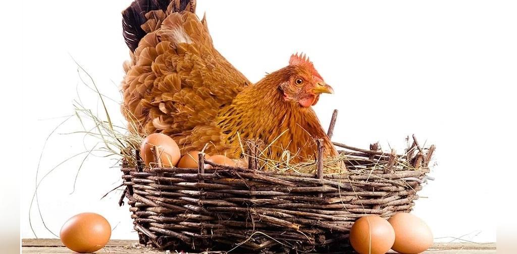 مرغ کرچ چیست
