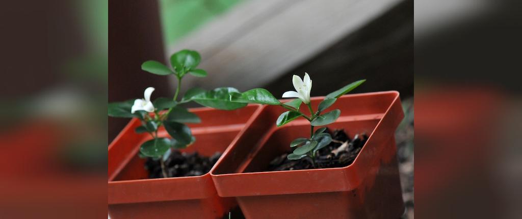 روش مراقبت از گل یاسمن خانگی
