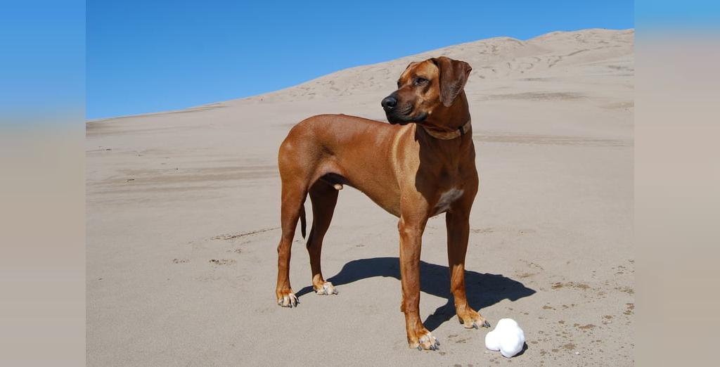 معرفی 10 نژاد قوی سگ