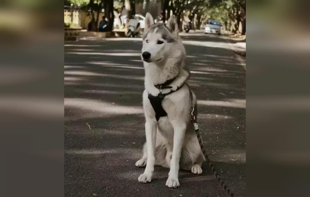 راه های نگهداری از سگ های هاسکی در آب و هوای گرمسیری