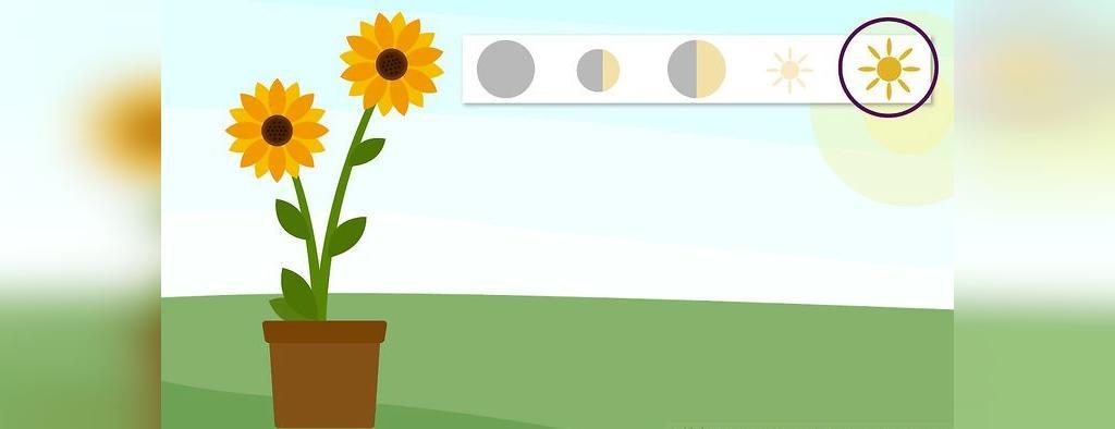 میزان نور مورد نیاز گل آفتابگردان
