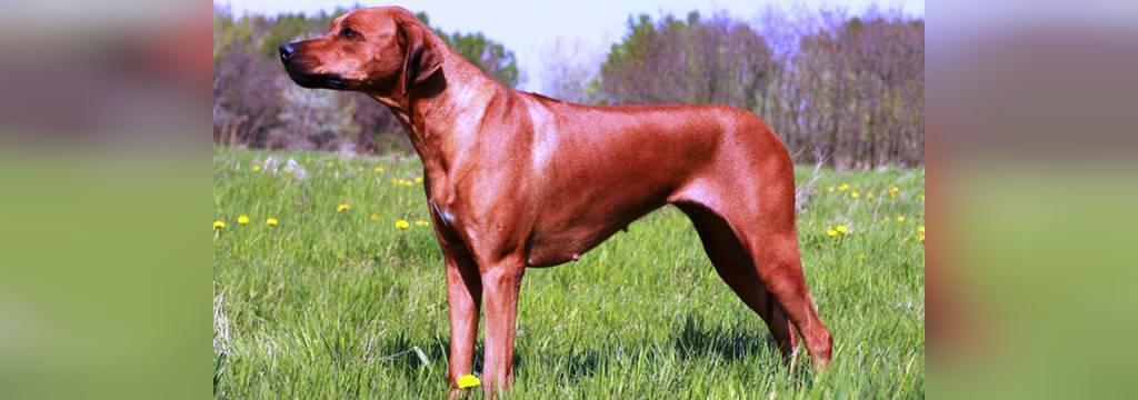 سگ رودیژنریجبک