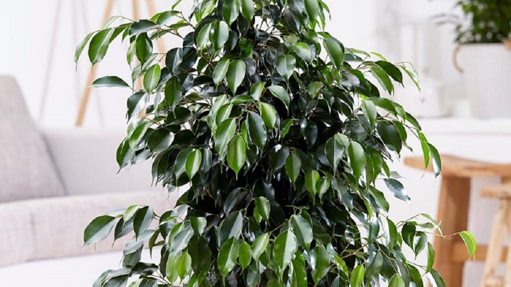 چگونه می توان از گل بنجامین مراقبت کرد؛ راه ها و نکات مراقبت از فیکوس بنجامین (گریه انجیر)