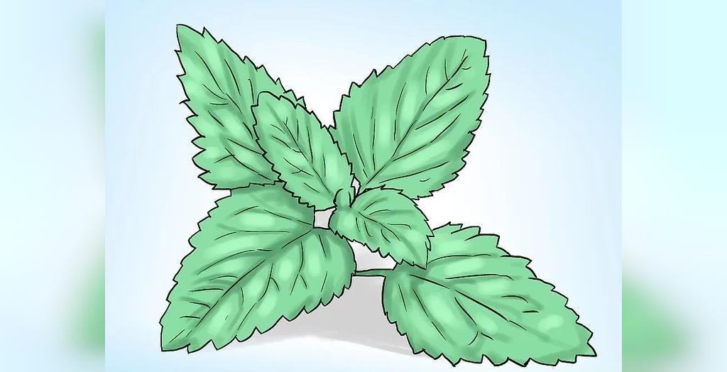 آموزش کاشت و پرورش گیاه نعناع در گلدان خانه