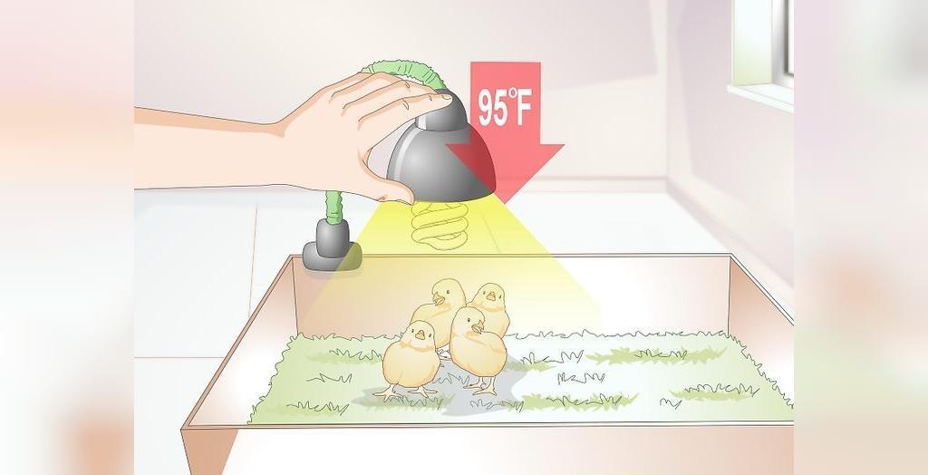 دمای مناسب برای پرورش جوجه مرغ