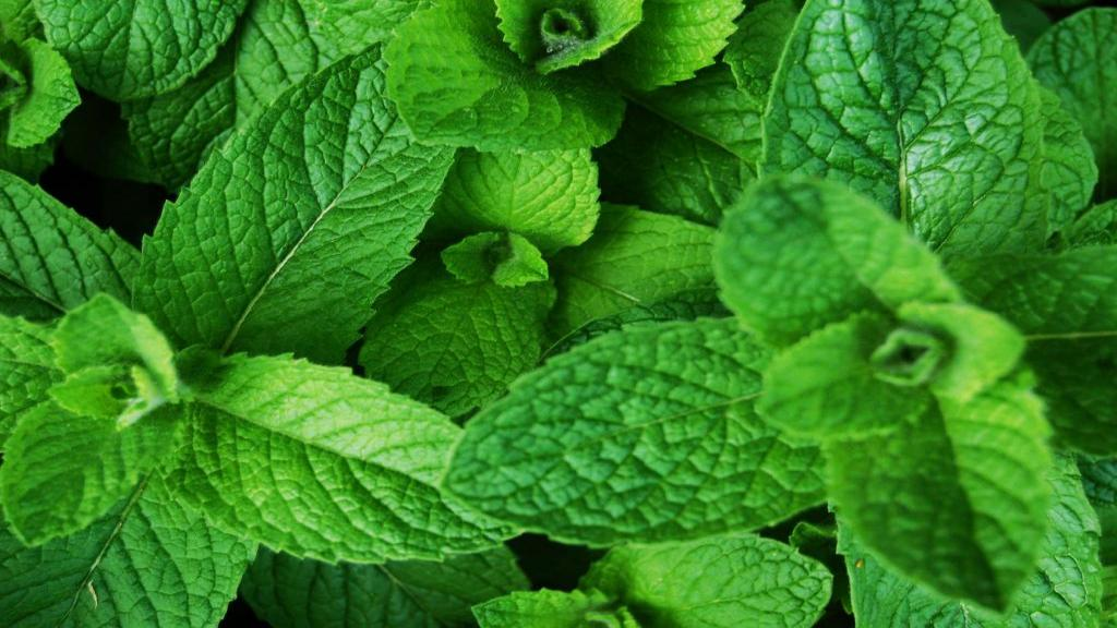 خواص نعنا چیست و چگونه به رفع بوی بد دهان و درمان سرما خوردگی کمک می کند؟