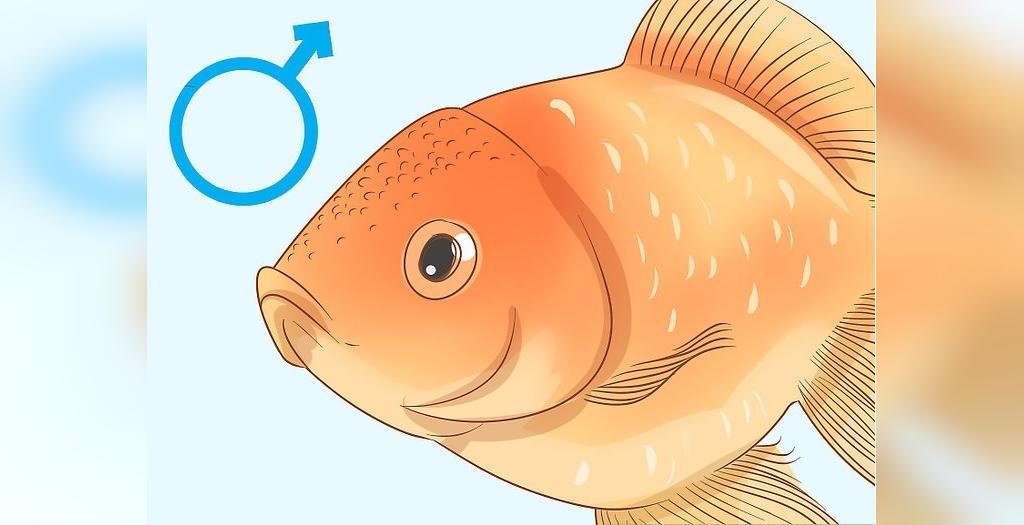 تشخیص جنسیت ماهی گلدفیش