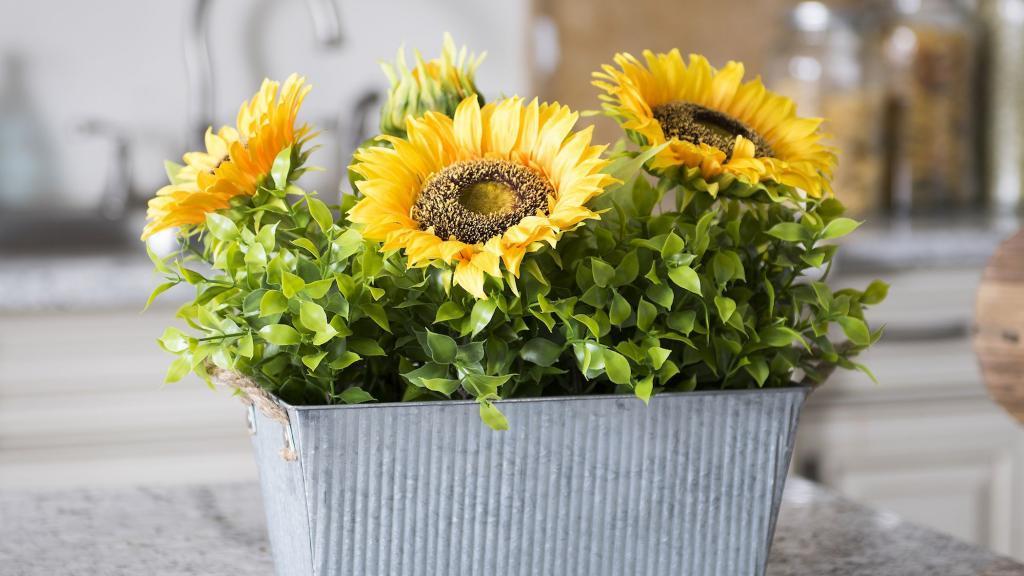 روش کاشت آفتابگردان در خانه و شرایط، نکات پرورش و مراقبت از آن